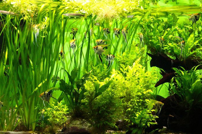 Akwarium pełne roślinności.