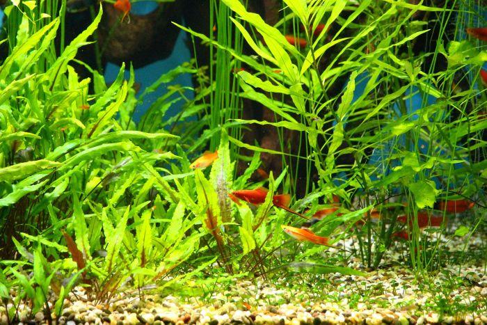 Akwarium roślinne z rybkami.