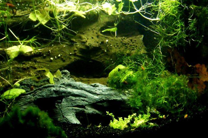 Zielone akwarium pełne roślinności.