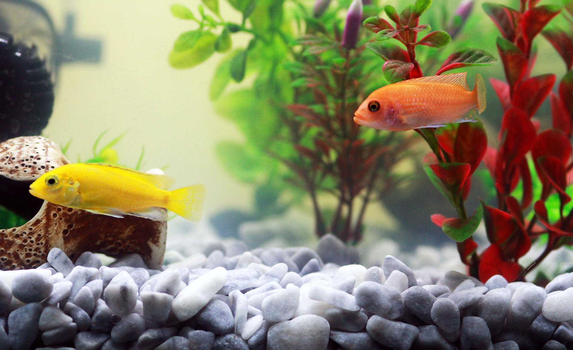 Aby zachować piękne akwarium, bez mętnej wody, należy należycie je przygotować od pierwszych dni. Czysta woda w akwarium zapewnia najlepsze warunki rybom.