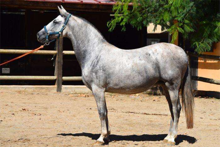 Koń andaluzyjski stoi bokiem na padoku.