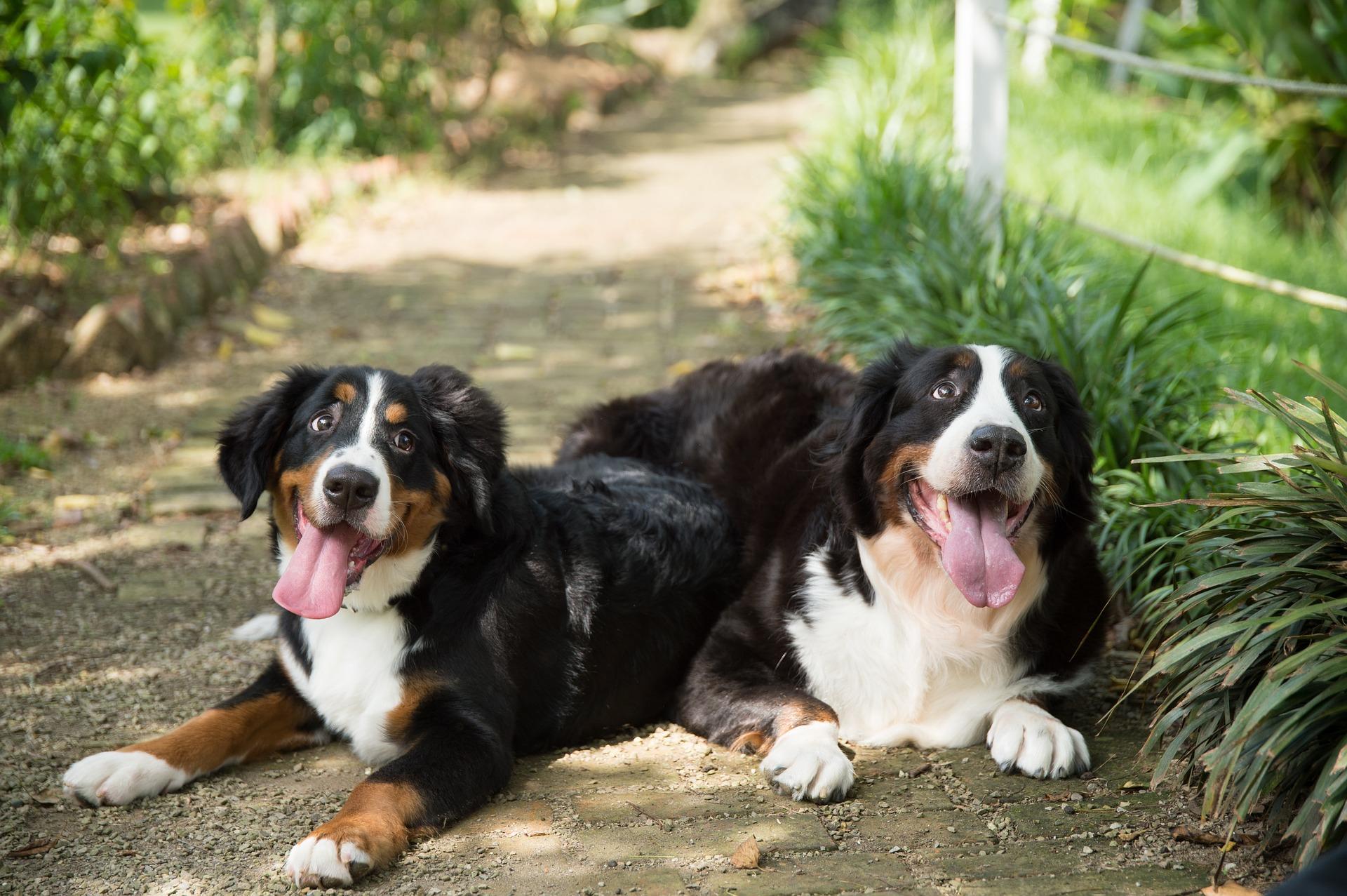 Berneńskie psy pasterskie bardzo długo zachowują szczenięcą radość i energię do wybryków. Bardzo lubią też czułości i pieszczoty.