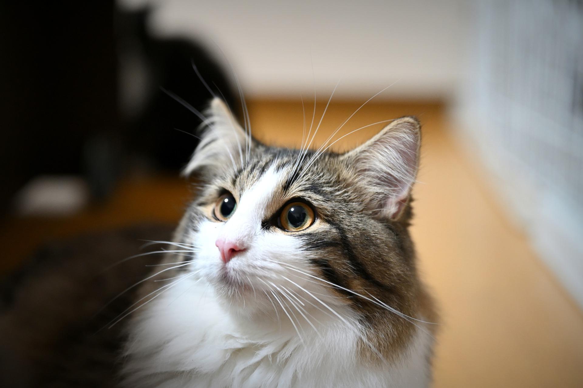 Koty norweskie leśne mają psi charakter. Idealnie sprawdzą się na spacerach, wyprowadzane na smyczy, lubią także aportowanie i naukę sztuczek.
