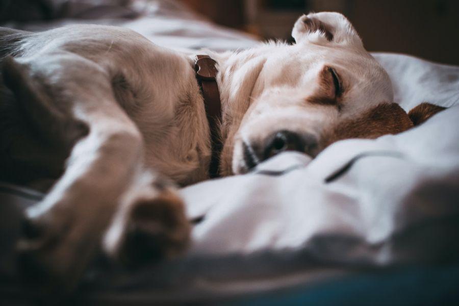 Osowiały pies często śpi i niechętnie reaguje na bodźce z zewnątrz.