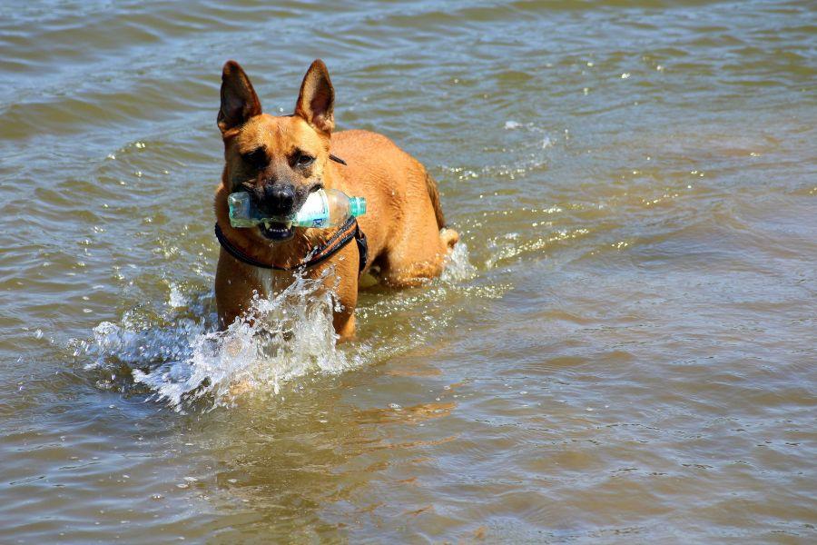 Pies aportuje butelkę w wodzie.