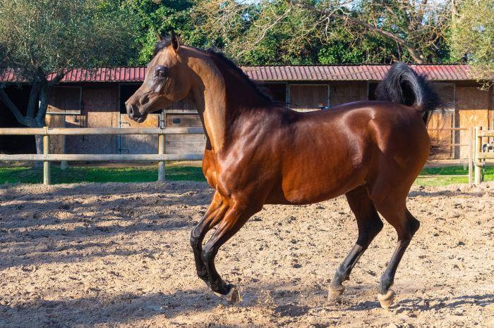 Koń arabski gniady na padoku.