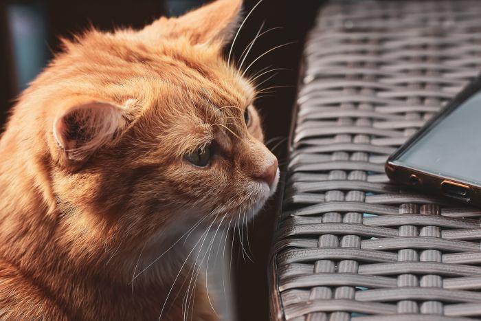 Kot na balkonie wpatruje się w telefon.