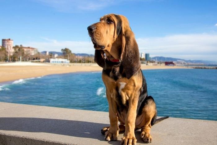 Blooshound na plaży.