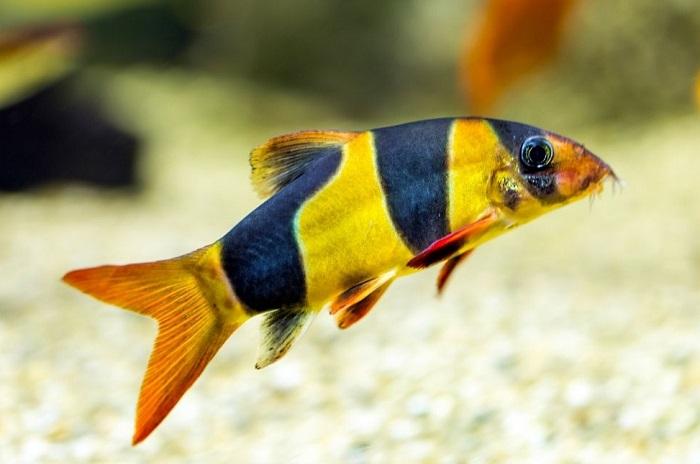 Bocja wspaniała ma czarne, grube pręgi na żółtym ciele.