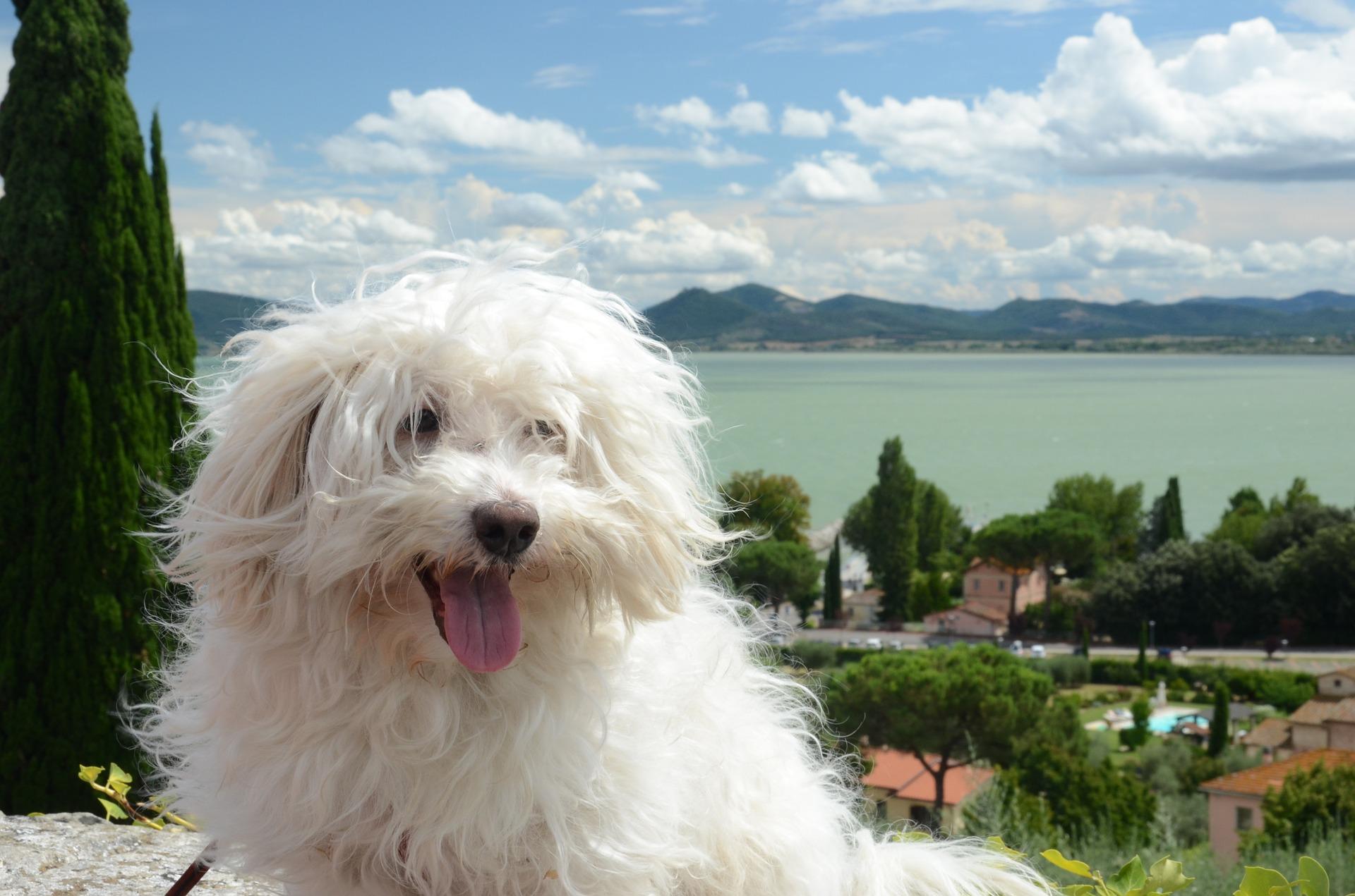Bolończyk jest psem typowo do towarzystwa. Wystarczają mu krótkie spacery w cichej okolicy.