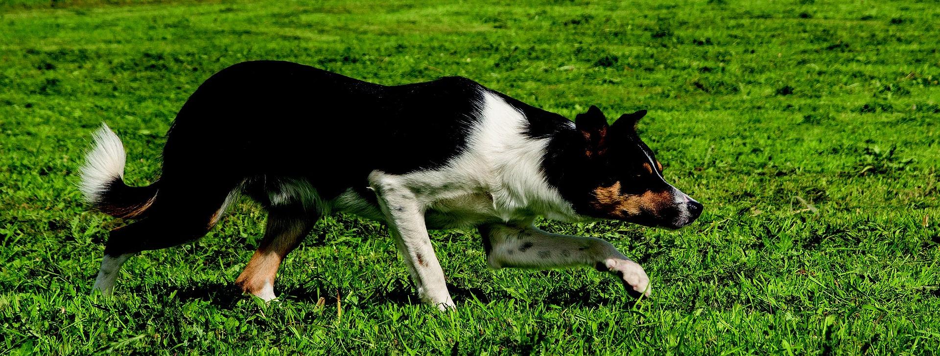 Border collie należą do psów pasterskich i zaganiających. Takie zachowania mają wpisane w geny, co trzeba wziąć pod uwagę decydując się na psa tej rasy.