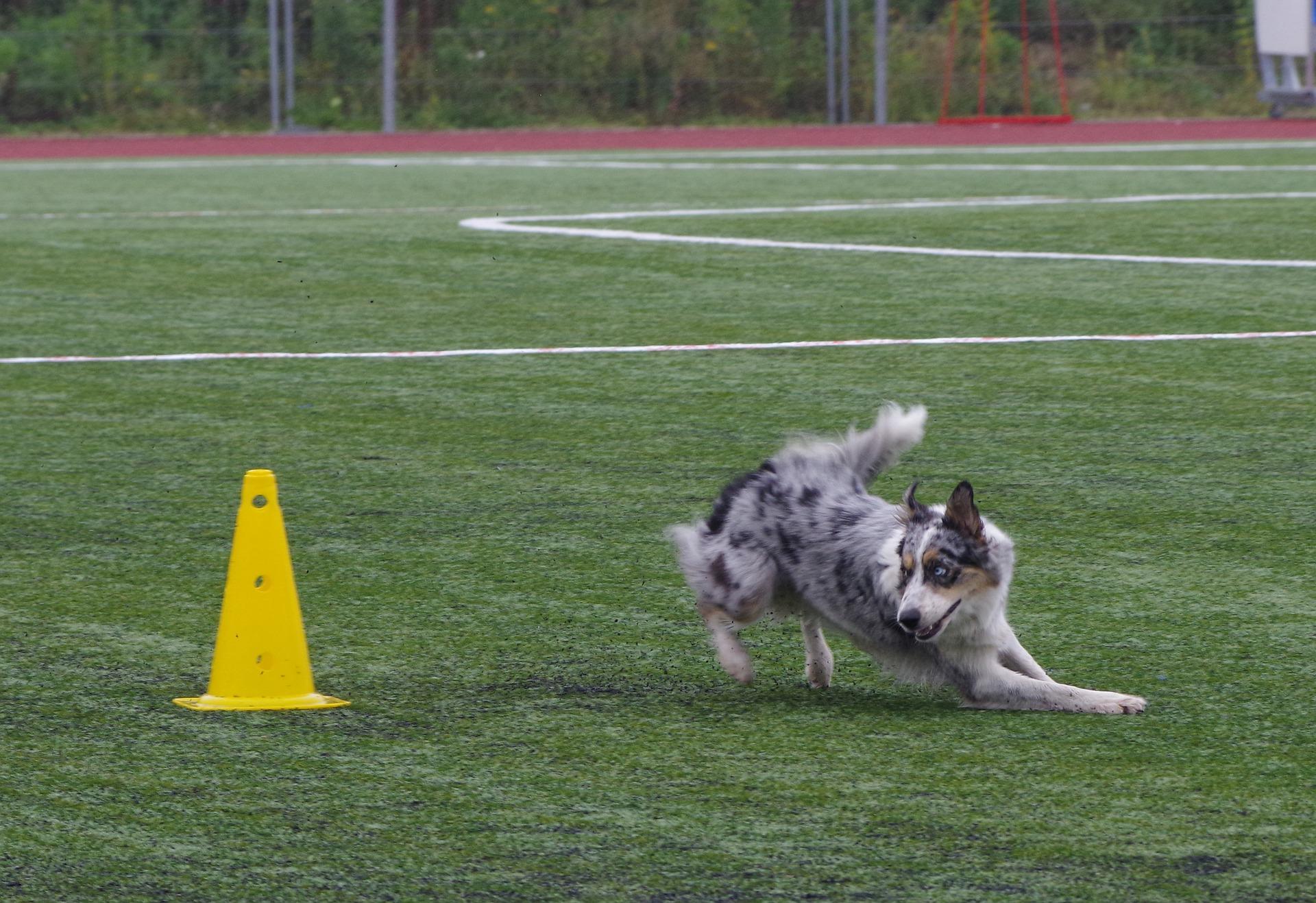 Border collie wymaga bardzo dużo aktywności zarówno fizycznej jak i umysłowej. Świetnie nadają się do wszelkich sportów z udziałem psów.