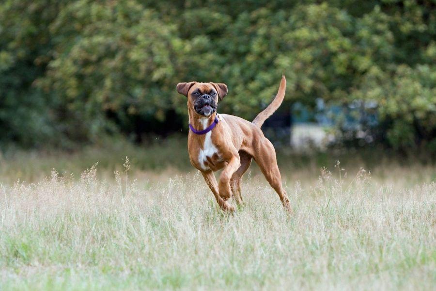 Boxer podczas skoku, widoczne mocne umięśnienie psa i smukłą sylwetkę.