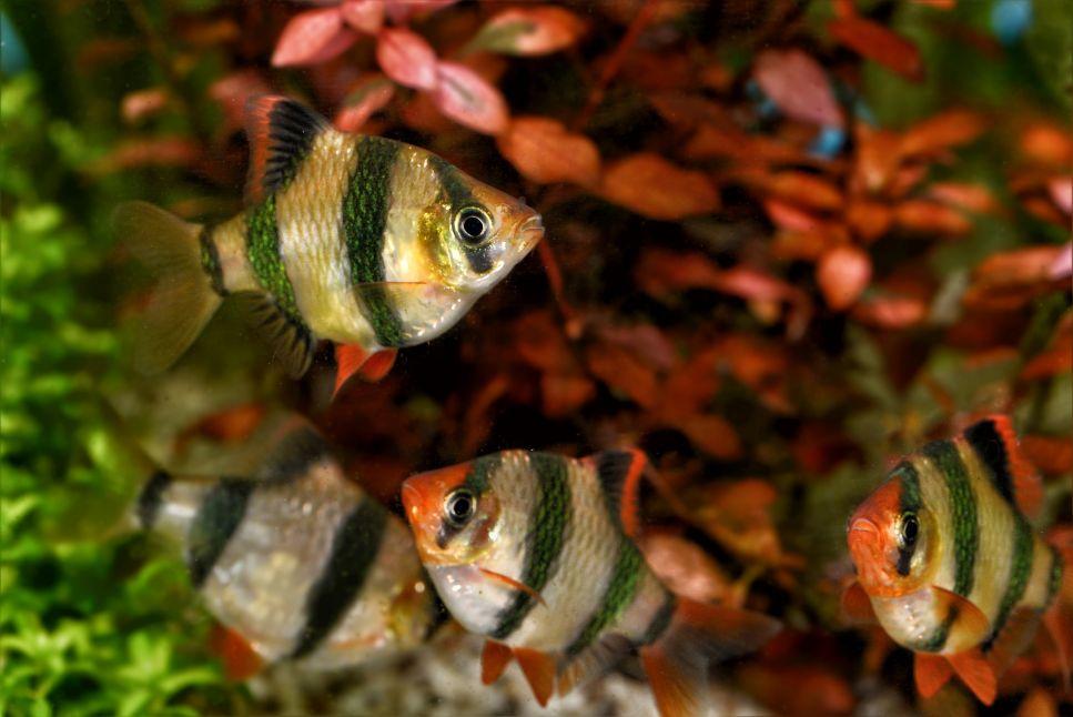 Ryby brzanki sumatrzańskie w akwarium