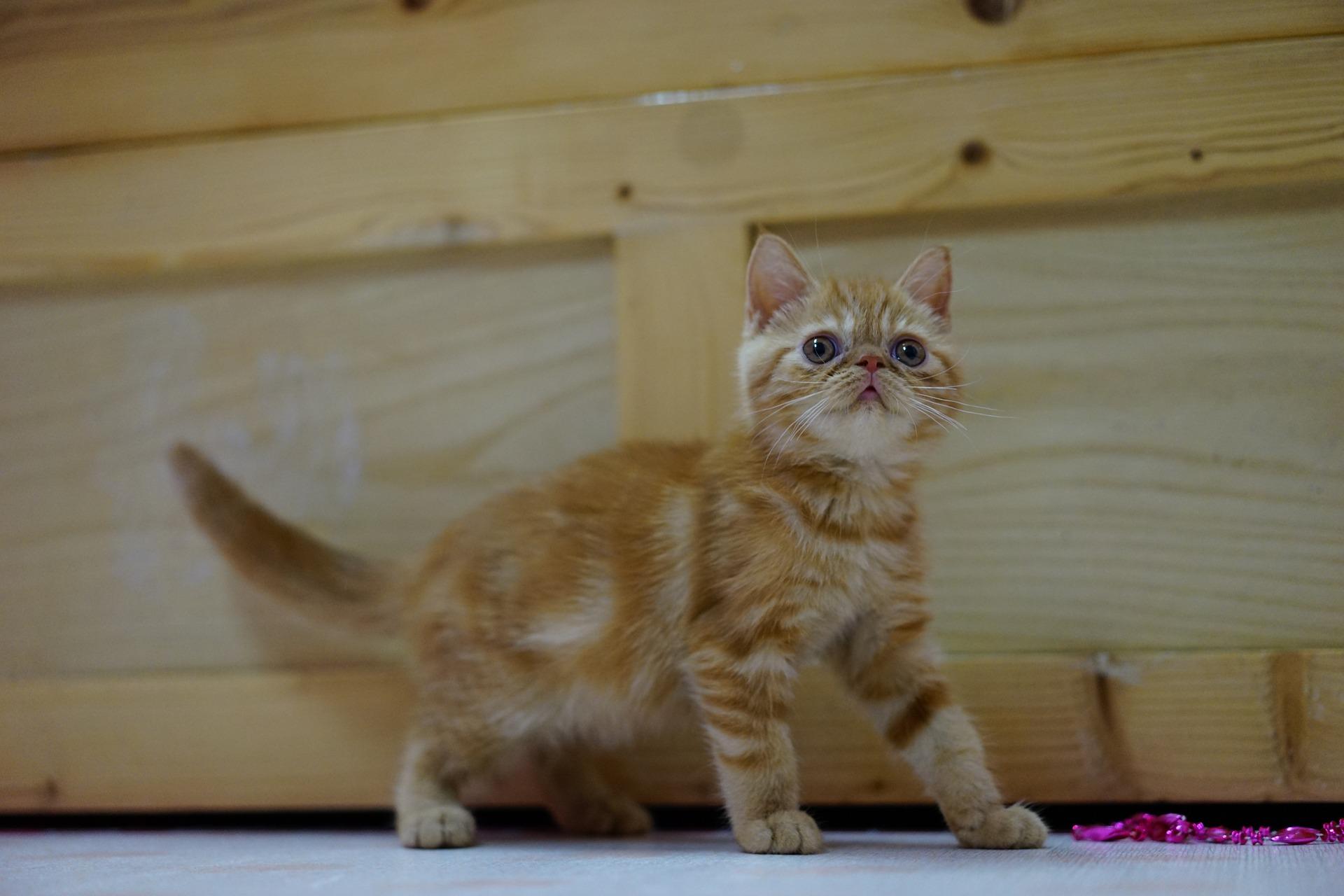 Usposobienie kotów egzotycznych jest łagodne i przyjacielskie. Jednak jak każdemu kotu należy zapewnić im możliwość spełniania potrzeb gatunkowych.