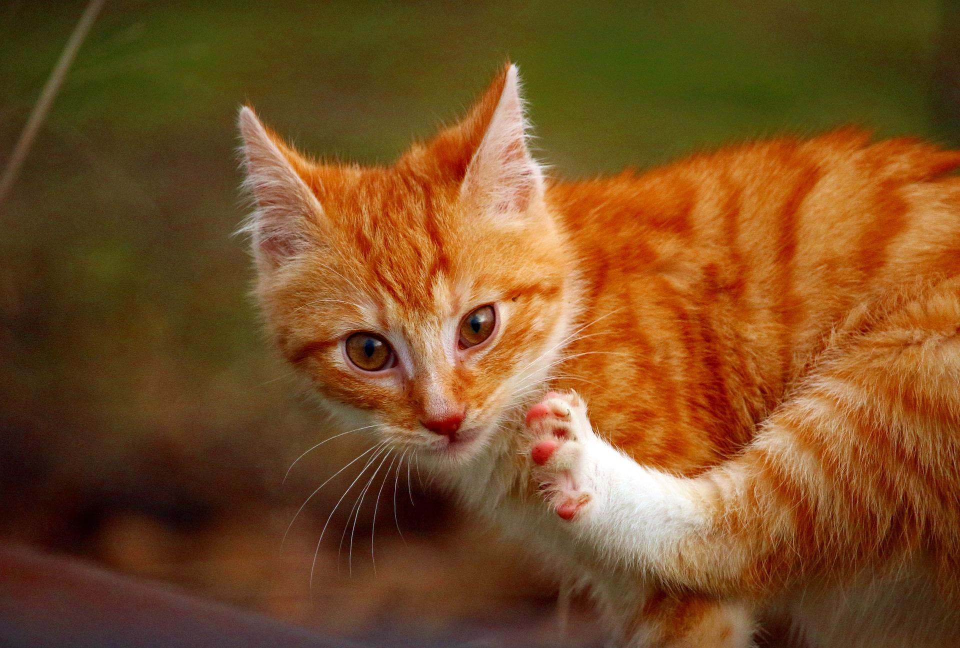 Wypuszczanie kota samopas jest narażaniem go na niebezpieczeństwo. Koty wychodzące żyją średnio kilka lat krócej i cierpią na poważniejsze choroby - w tym na złamania objawiające się, że kot kuleje.