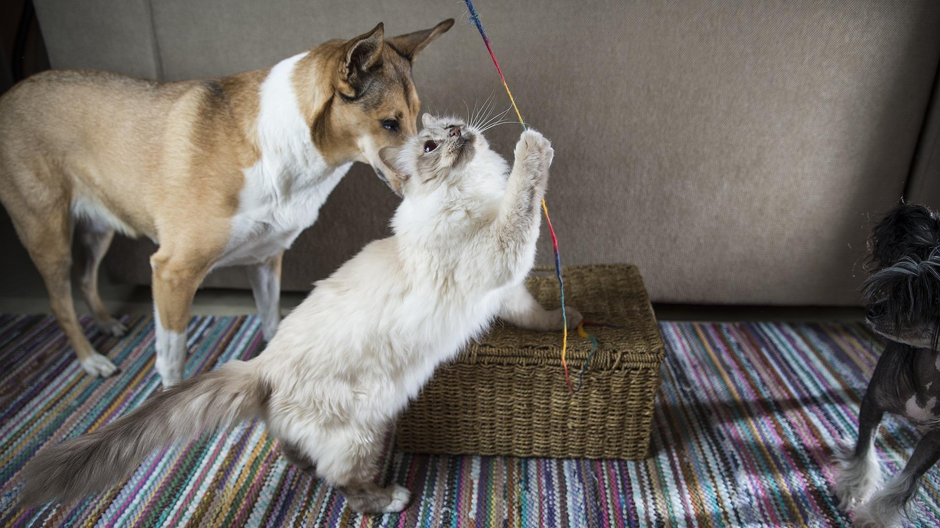 Przy dobrej socjalizacji koty birmańskie dobrze dogadują się z innymi zwierzętami - psami czy innymi kotami.