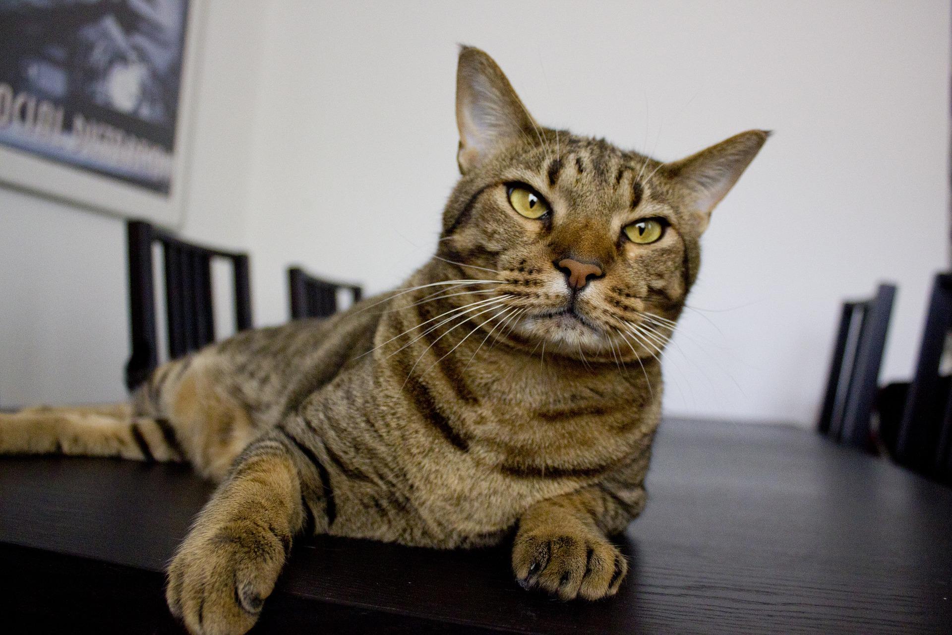 Zaburzenia apetytu u kotów mogą wynikać z chorób i bólu, ale także ze stresu.