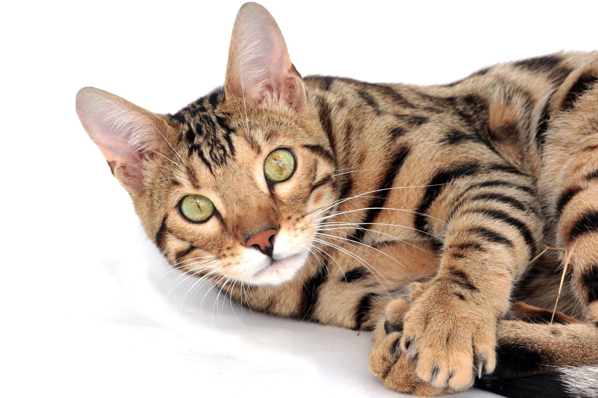 Jako duża rasa kotów, koty bengalskie potrzebują dużego drapaka i odpowiedniej diety, bogatej w wysoką zawartość białka pochodzenia zwierzęcego.