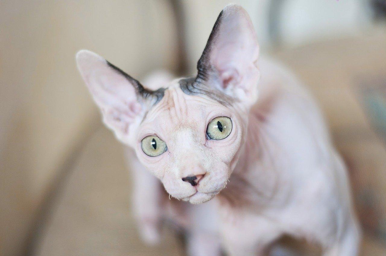 Istnieją trzy odmiany kotów rasy sfinks: peterbald, sfinks doński oraz kanadyjski.