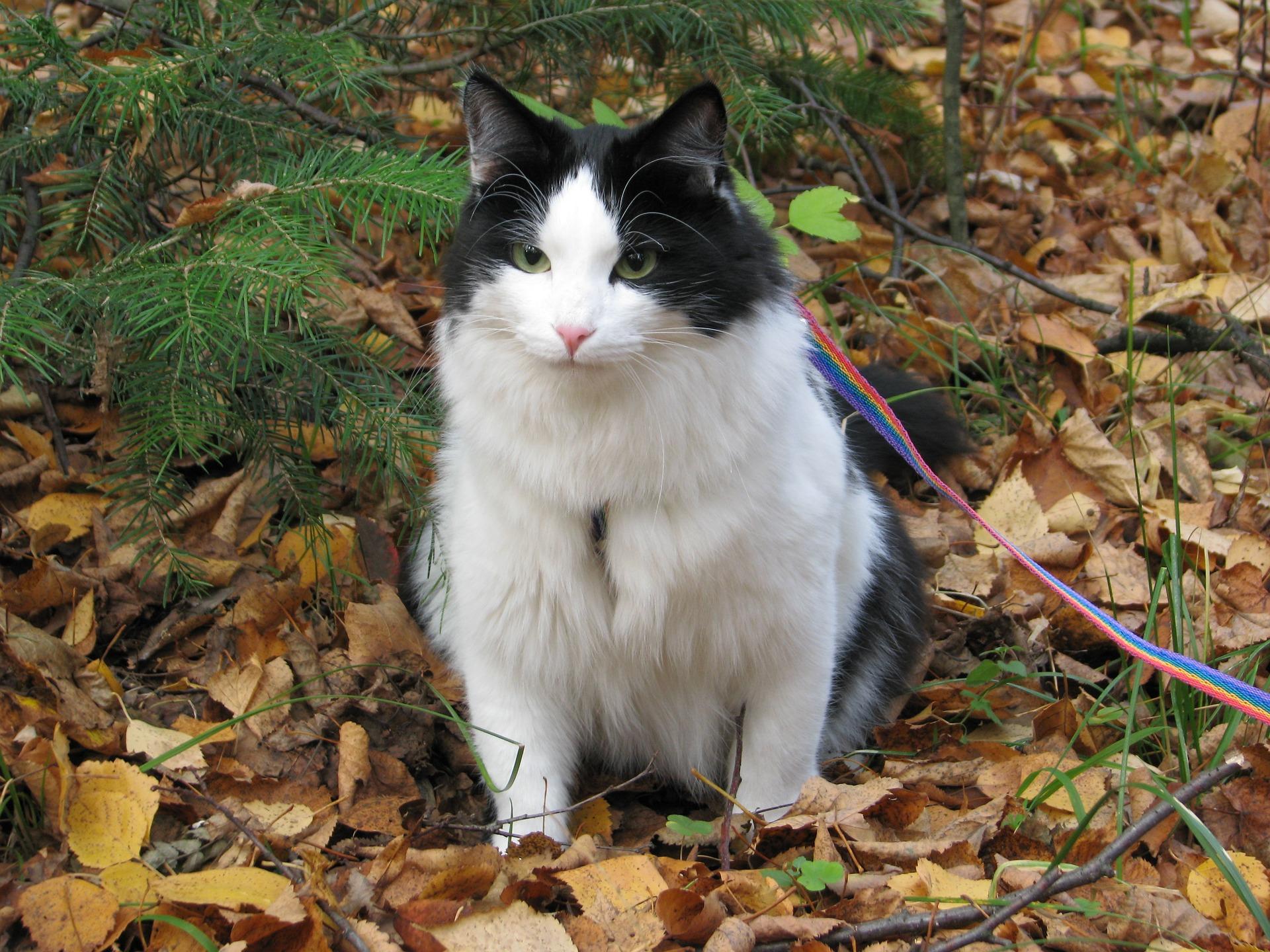 Spacery z kotem na smyczy i w szelkach są bezpieczną atrakcją dla kota. Należy jednak pamiętać, że nie każdy kot będzie przepadał za spacerami - hałasem, dużą ilością ludzi i bodźców - i należy to uszanować.