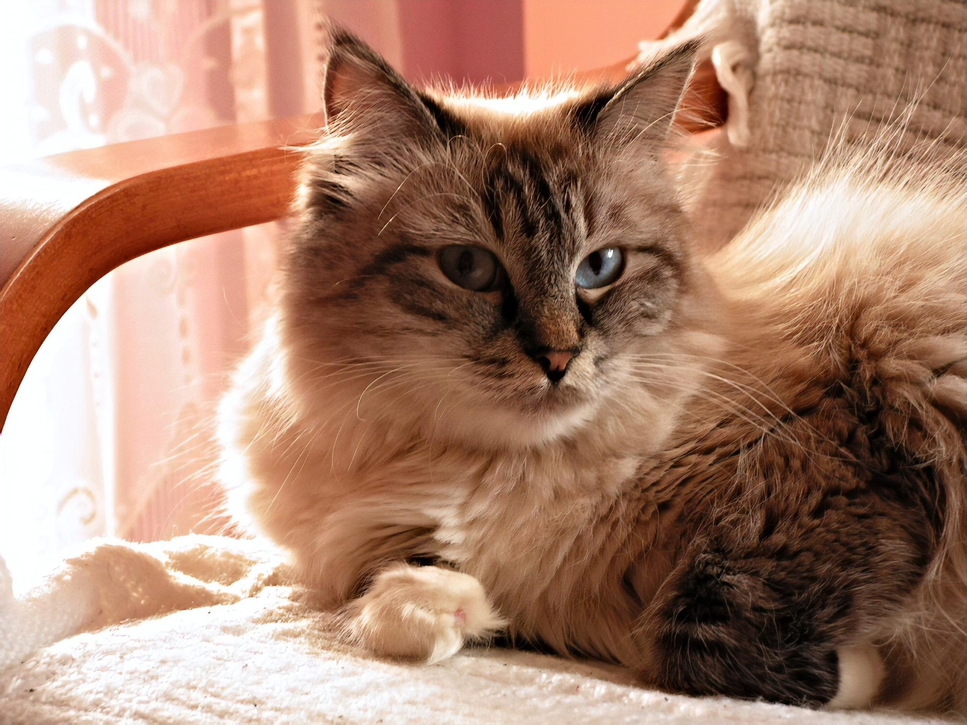Koty syberyjskie posiadają pięknie zarysowaną, bujną kryzę.