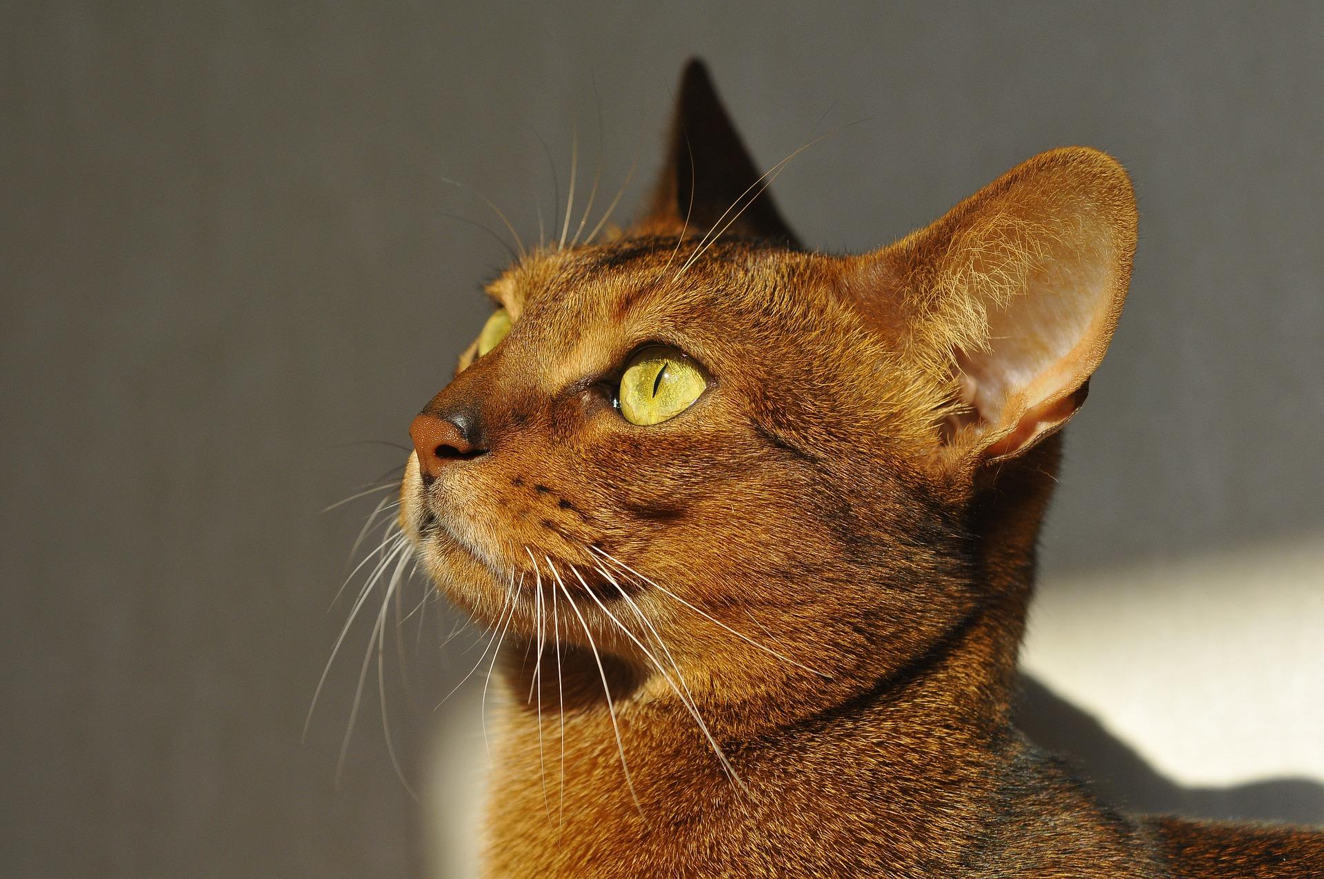 Głowa kotów abisyńskich jest w kształcie klina, a uszy szeroko rozstawione z charakterystyczną plamką z tyłu.