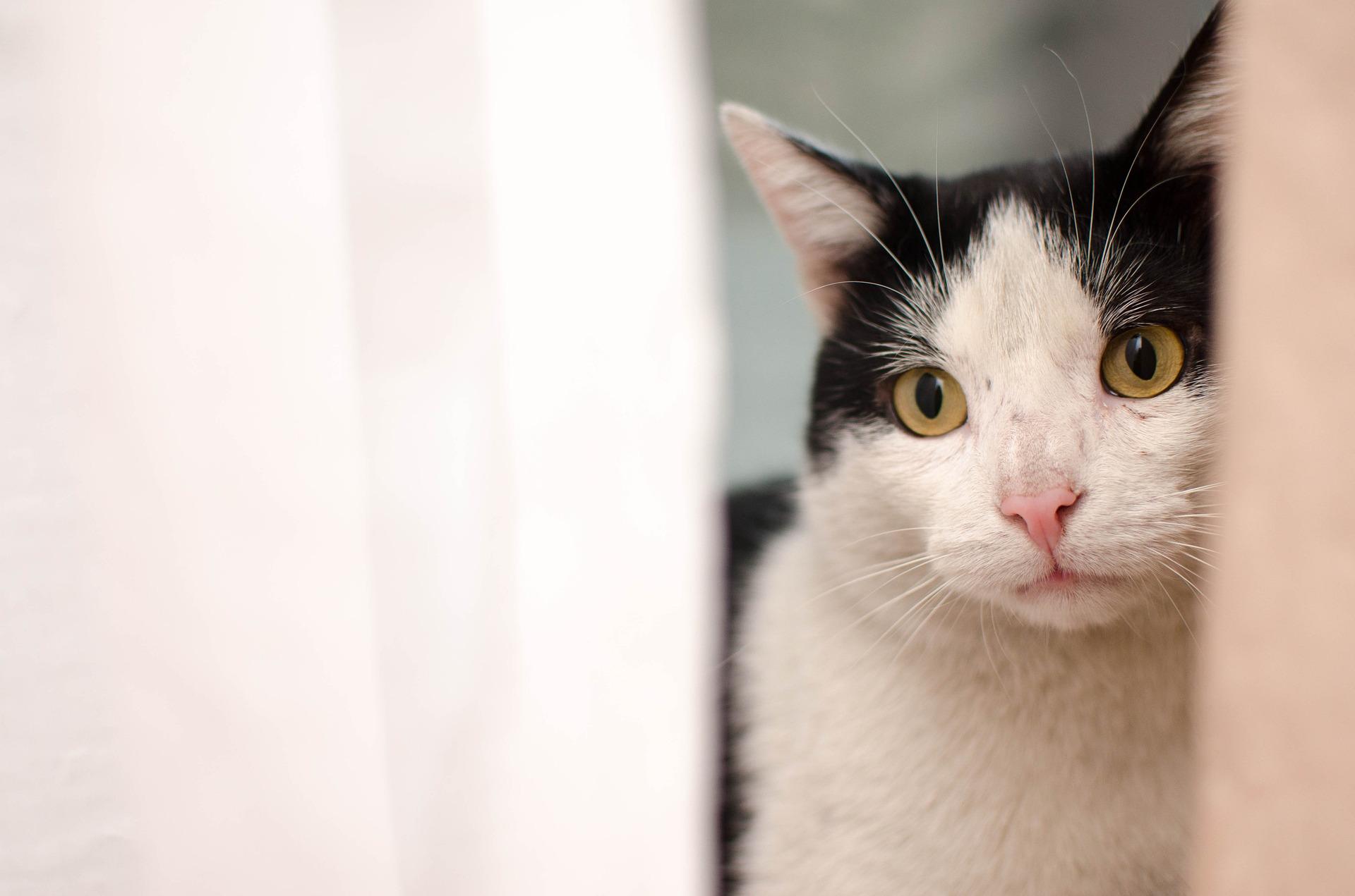Głodówka u kota prowadzi do poważnych konsekwencji zdrowotnych, w szczególności do groźnego stłuszczenia wątroby.