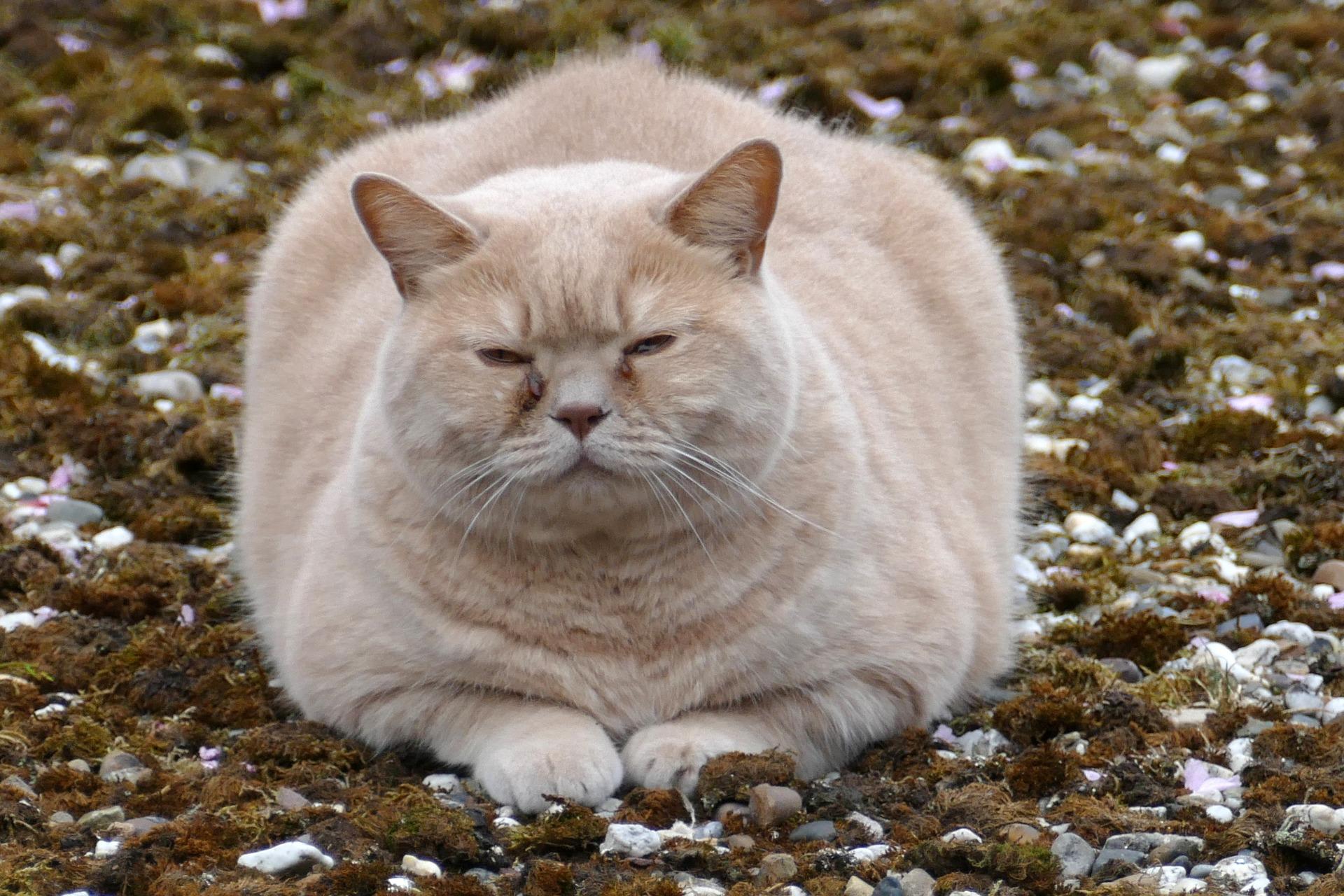 Otyłość i nadwaga może spotkać każdego kota, który jest nieprawidłowo karmiony i nieodpowiednio stymulowany do zabawy.
