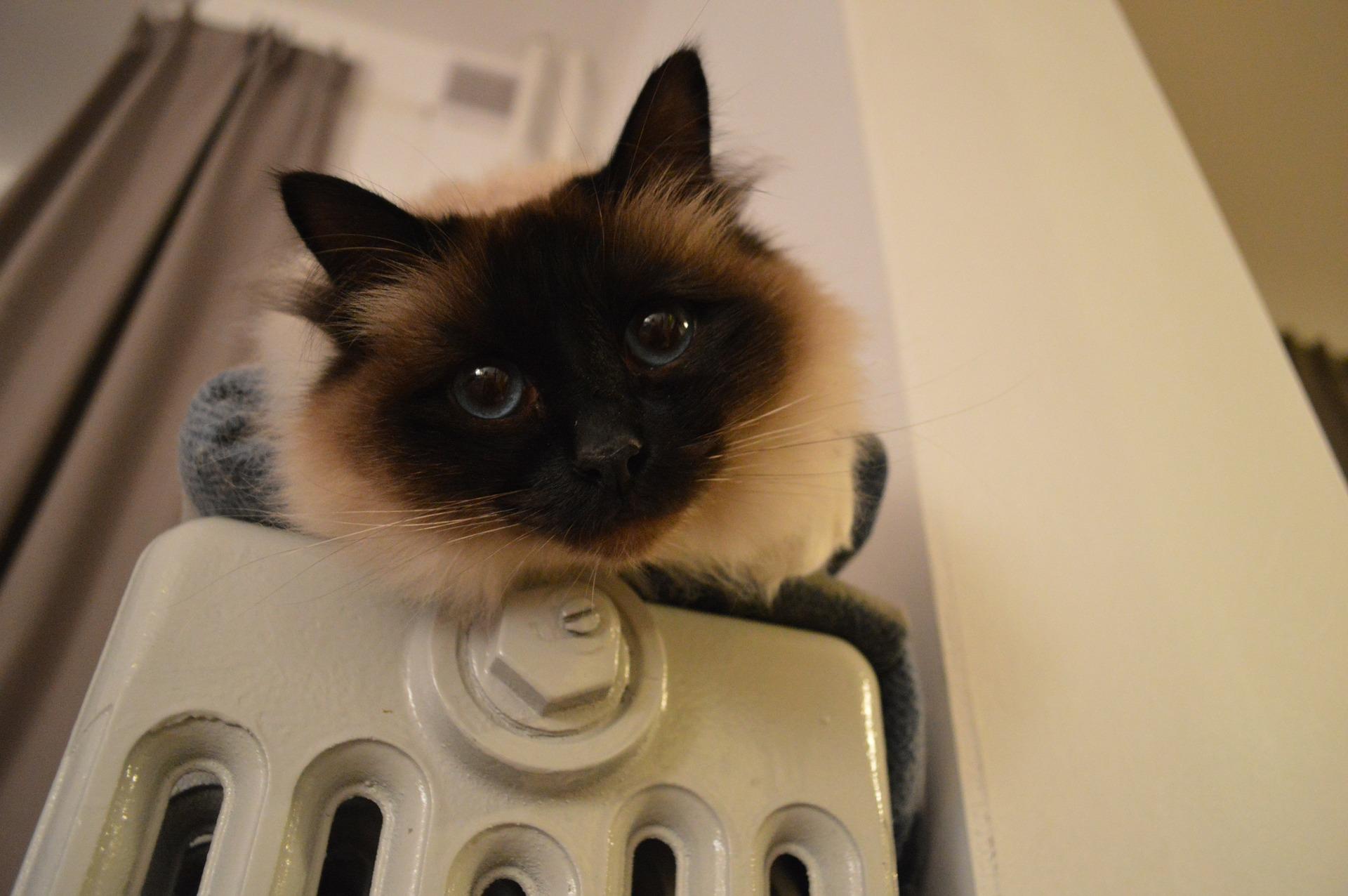 Kot birmański zwany jest również świętym kotem. Jest bardzo towarzyski, ale też strachliwy.