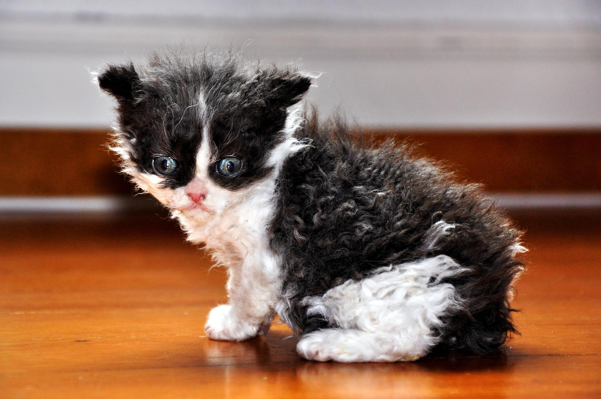 Devon rex jest kotem wesołym, z dużą dawką energii. Lubi aktywnie spędzać czas z opiekunem - dobrze odnajdzie się na spacerach, lubi zabawy w aportowanie czy naukę sztuczek.