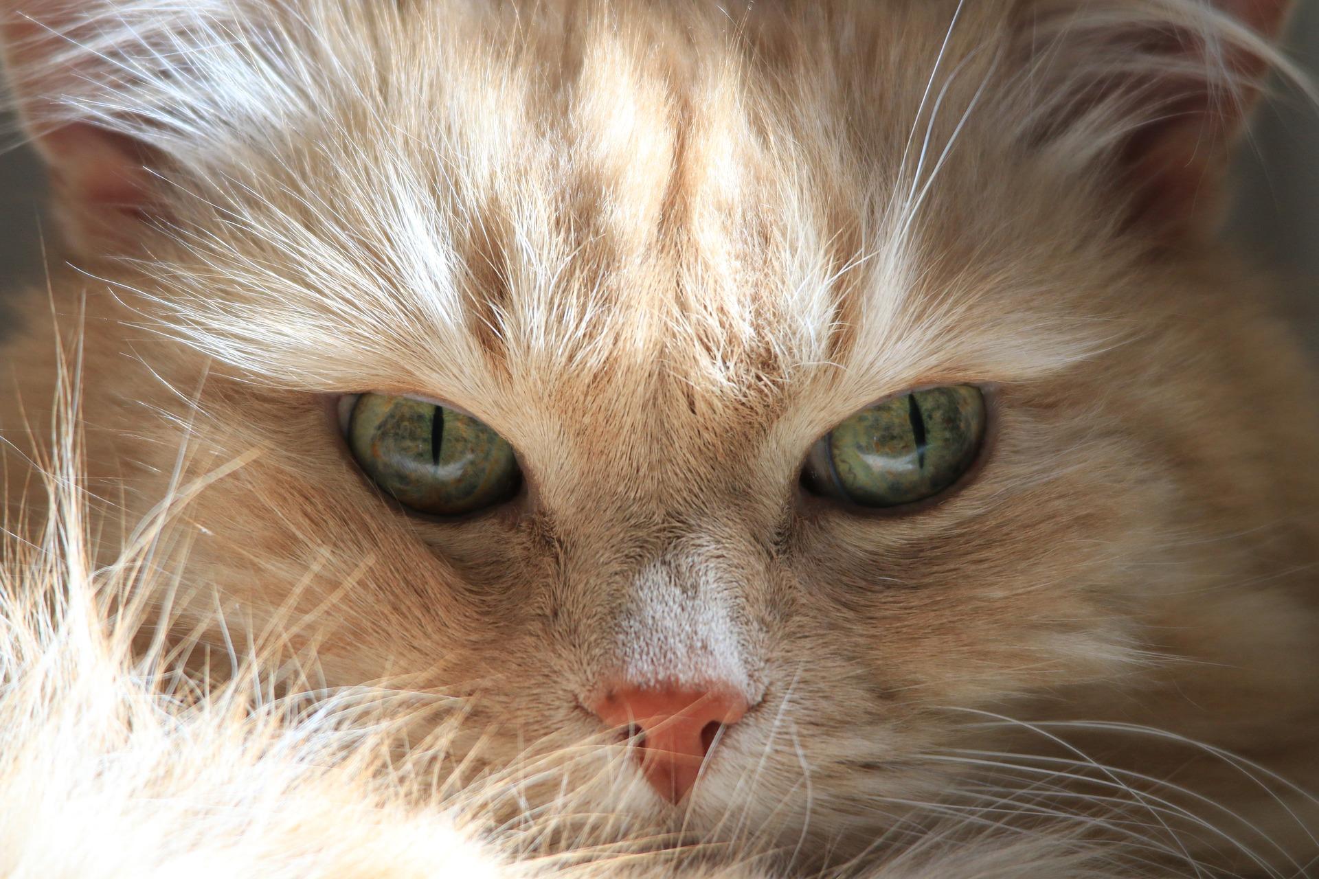 Koty syberyjskie zaliczane są do ras naturalnych, co oznacza, że człowiek nie brał udziału w ich ewolucji.