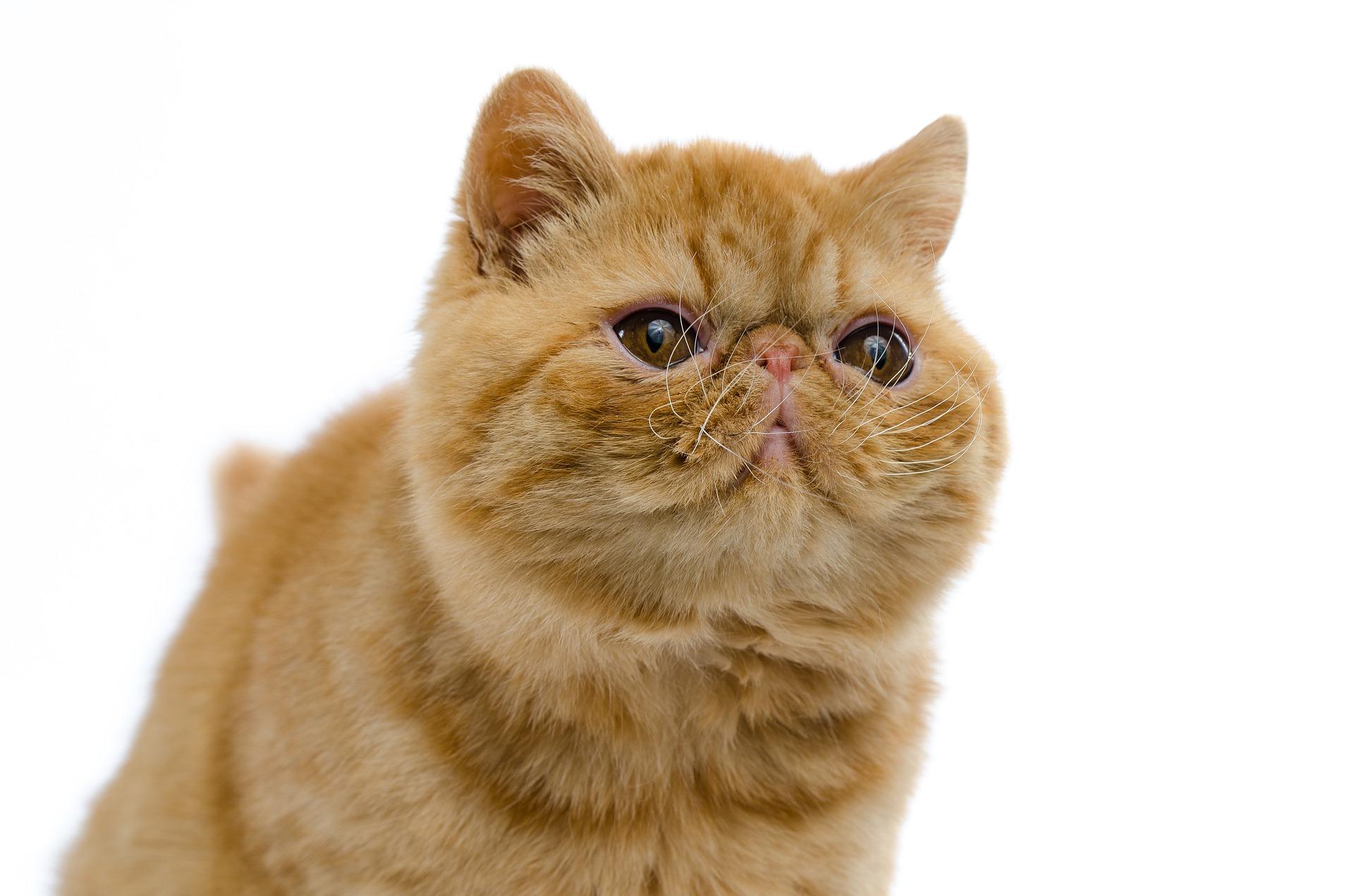Koty egzotyczne są rasą dosyć młodą, stworzoną w 60 latach XX wieku.