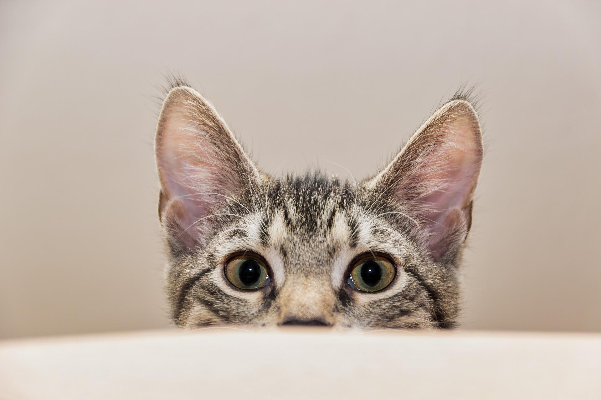 Zapalenia pęcherzy u kotów występuje coraz częściej, obok nowotworów i otyłości uważne jest już jako schorzenie cywilizacyjne, a wpływ na to mają zła dieta kotów i zbyt mała dawka ruchu.