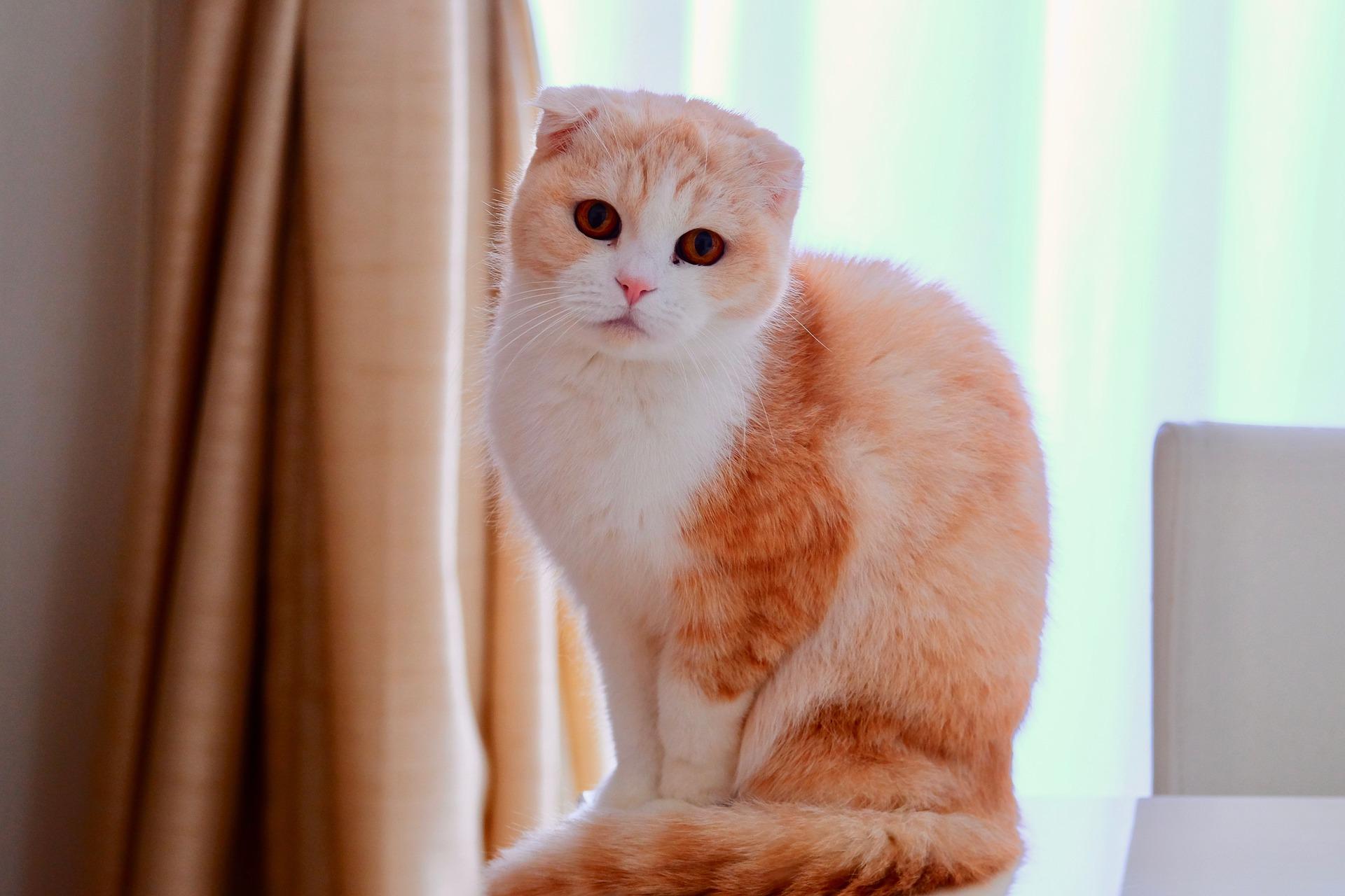 Kot zwisłouchy jest bardzo towarzyski i inteligentny. Lubi pieszczoty, ale i czas spędzony na leniuchowaniu.
