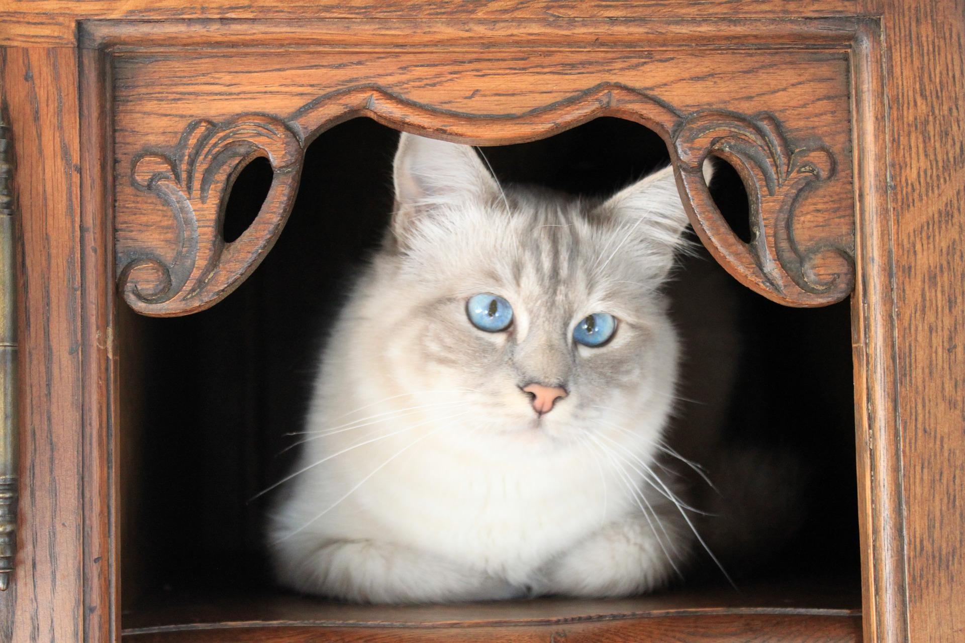 Koty birmańskie często dotyka zez oraz inne choroby oczu.
