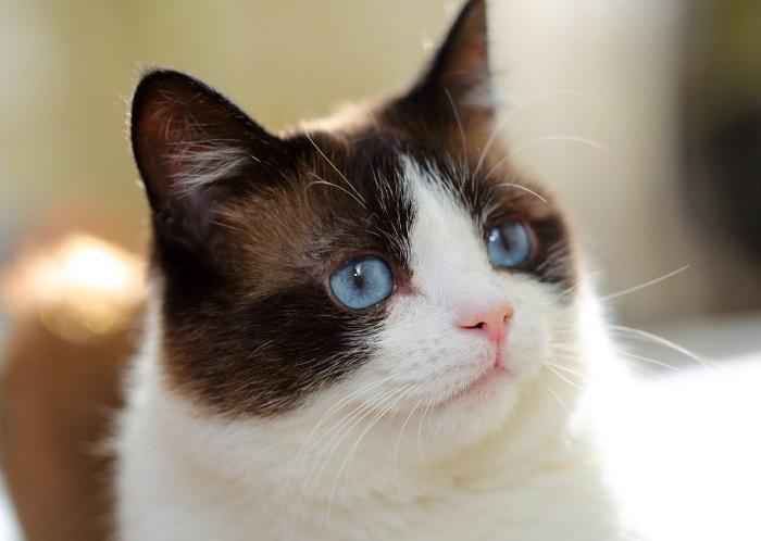 Snowshoe ma błękitne oczy i białą maskę na pysku.