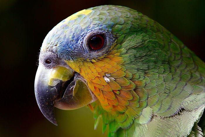 Papuga z osłabionym i uszczerbionym dziobem.