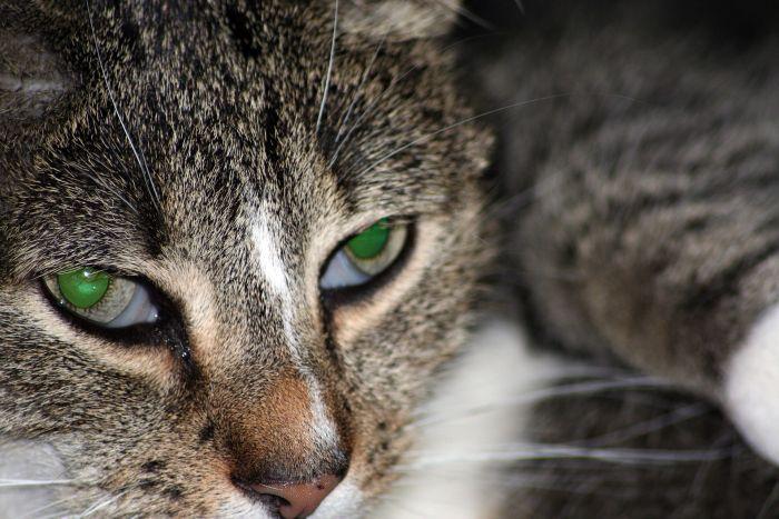Widoczna trzecia powieka u kota może być objawem chorych oczu.