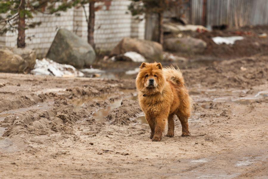 Pies chow chow o maści rudej z fioletowym językiem.