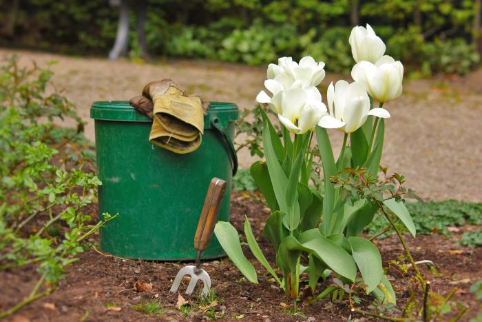 Prace ogrodowe przy tulipanach.