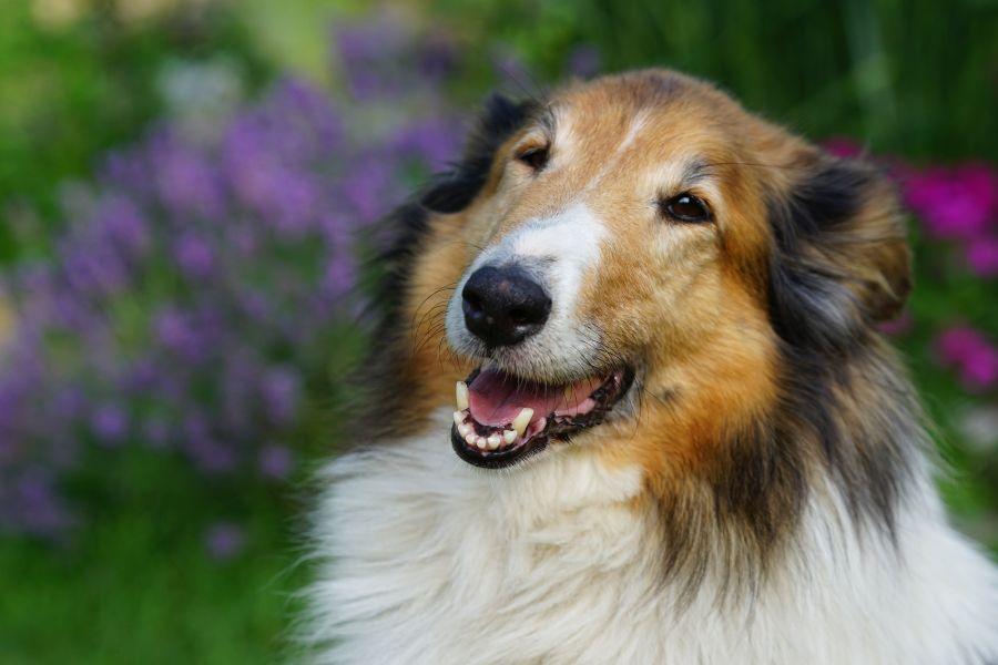 Owczarek szkocki ma lekko skośne oczy i szeroki uśmiech, przez co zyskał miano wiecznie uśmiechniętego psa.