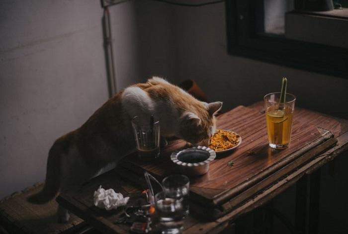 Kot próbuje jeść ze stołu.