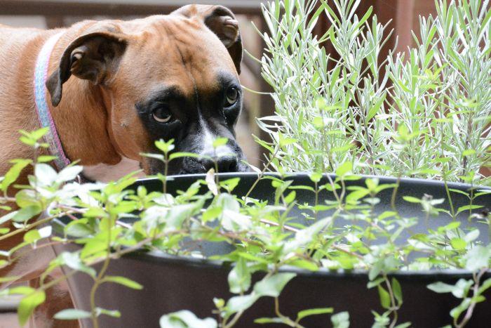 Bokser wśród lawendy w ogrodzie.