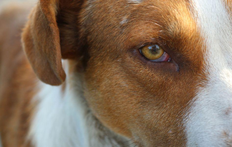 Podrażnione oko psa, widoczna jest trzecia powieka i czerwone białko oka.