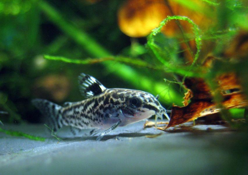 Ryba śpi przy dnie akwarium.