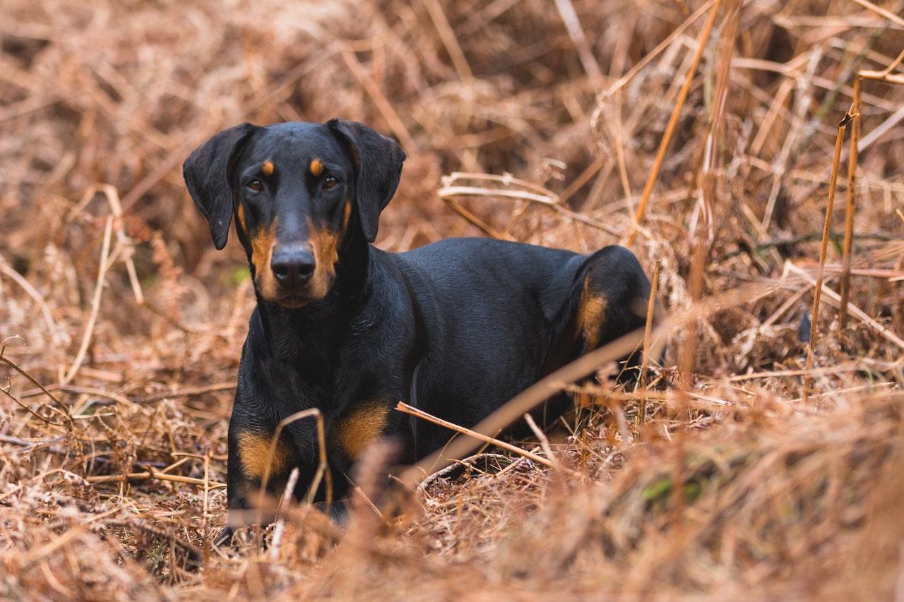 Doberman jest jednym z najinteligentniejszym psów.