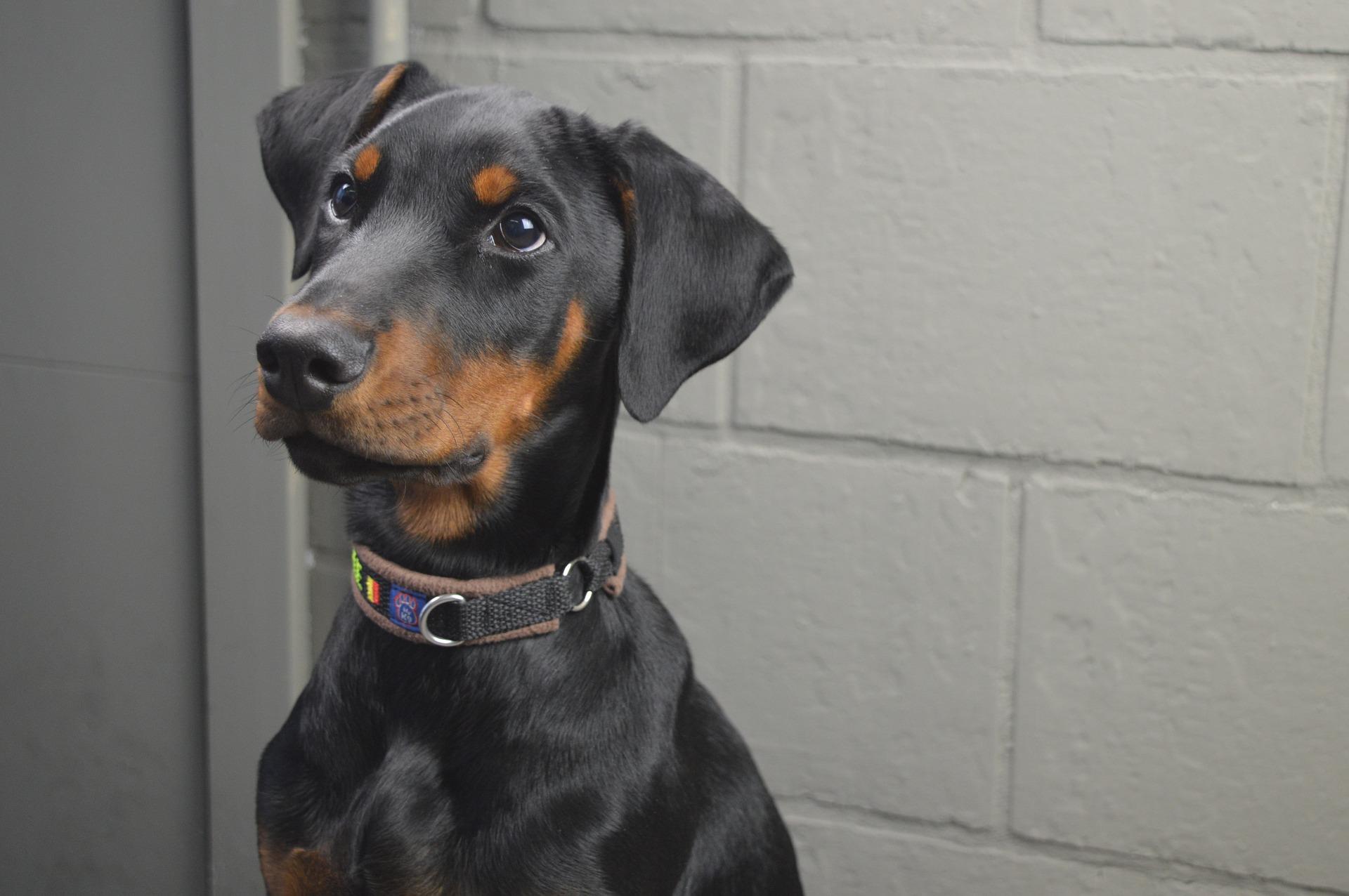 Doberman jako pies stróżujący ma bardzo silny instynkt obronny. Wymaga odpowiedniego wychowania już na wczesnym etapie dorastania.