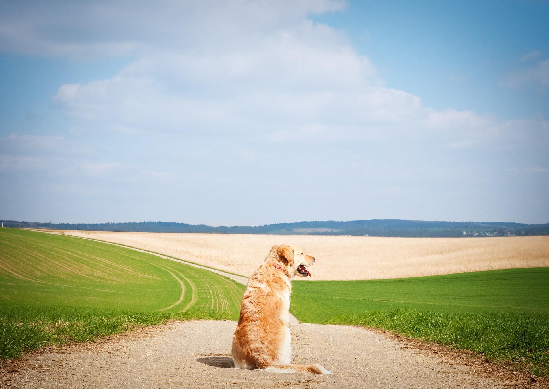 Psy chłodzą się poprzez ziajanie, posiadają znikomą ilość gruczołów potowych jedynie w niektórych miejscach, np. na opuszkach łap. Dlatego też bardzo ważne jest zapewnienie im cienia i dużo wody do picia podczas upalnych dni.