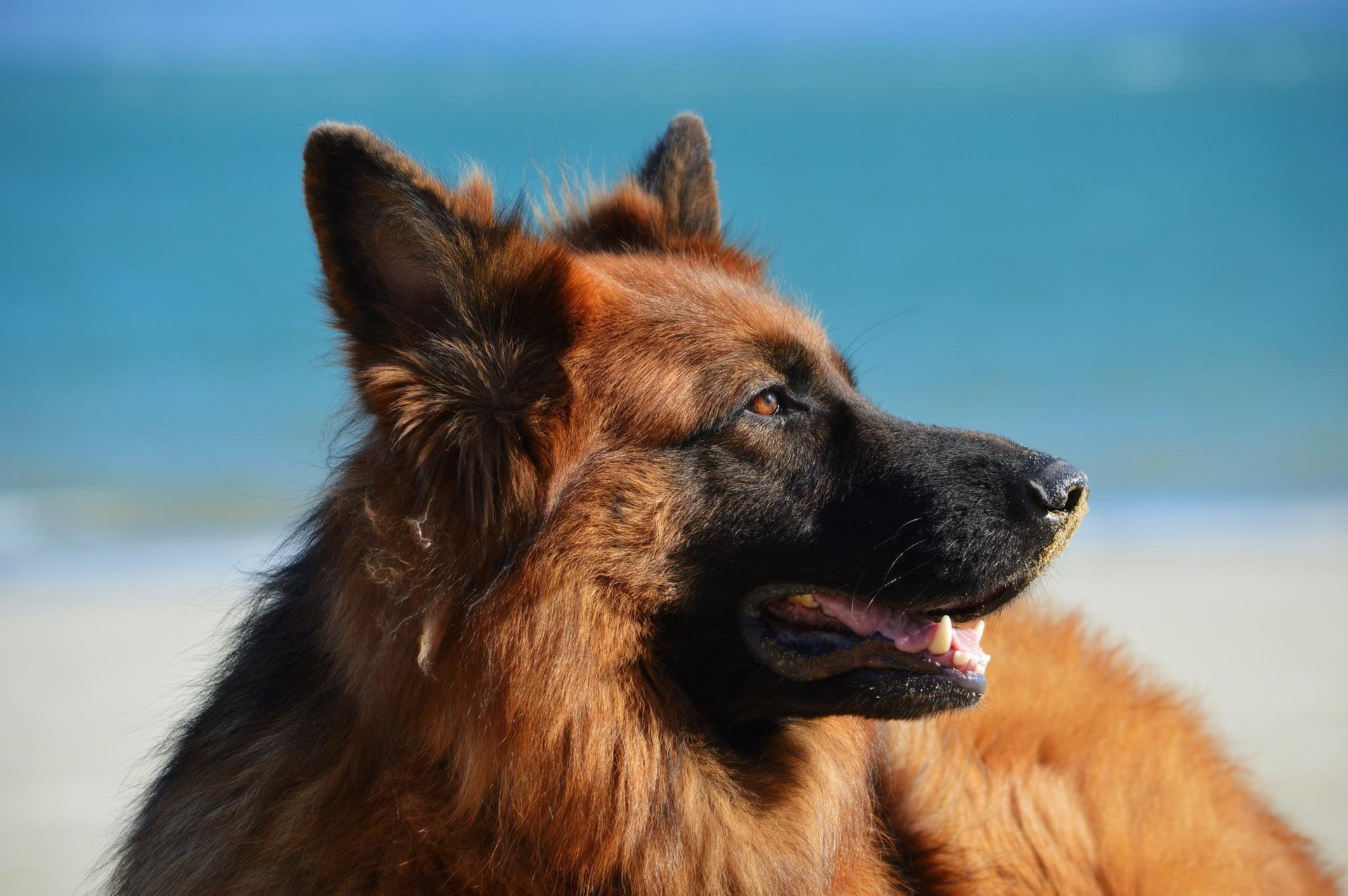 Owczarki niemieckie należą do sekcji psów stróżujących, idealnie współpracują z ludźmi i lubią naukę nowych rzeczy.